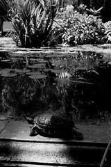 step in the light (hydRometra) Tags: bothanicgarden ortobotanico palermo nature marinadilibri allaperto taurtle outdoor ninfee tartaruga monochrome bn stagno waterlily pond bw bnw