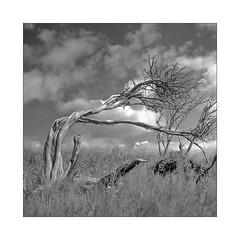 Bent tree (K.Pihl) Tags: nature planar75mmrolleiflex denmark blackwhite schwarzweiss trehøje clouds rolleiflex35e monochrome tree molsbjerge sky standdevelopment pellicolaanalogica acros100 bw rodinal1100 analog film