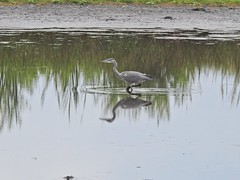 Heron (Simply Sharon !) Tags: greyheron heron bird wildlife britishwildlife nature