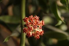Hoya kerrii splash (ozielonych) Tags: hoya roślina plant pflanze