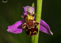 Bee orchid (Andy Davis Photography) Tags: ophrysapifera orchid flower grass macro summer canon
