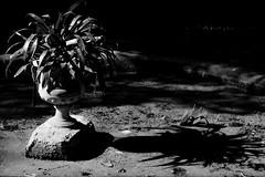 and its shadow / e la sua ombra (hydRometra) Tags: bothanicgarden shadow foglie ortobotanico palermo ombraportata nature marinadilibri allaperto outdoor pond leaves monochrome bn stagno bw bnw