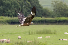 Red Kite (Karen Roe) Tags: red kite redkite bird fly flight flying wings wales canon 7d mkii mark2 canon7dmkii 150600mm sigma zoom telephoto july 2019 summer britain greatbritain gb uk unitedkingdom outside outdoor day camera photo photography photograph photographer picture capture image snap shot karenroe female flickr visit visitor wildlife wild nature natur naturephotography sheep field