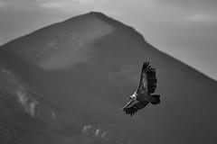 Libre- (vilodup) Tags: vautour montagne paysbasque