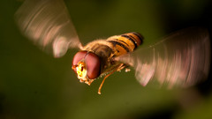 A hovering hover-fly (John Spooner) Tags: hover fly hoverfly panasonic lumix gx80 gx85 olympus 60mm macro insect flying blur wings