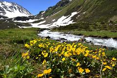 Comfort on a Warm Day (YIP2) Tags: switzerland flowers yellow water mountains summer heat dischmatal valley river stream summit alps landscape snow prättigau graubünden