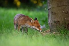 Sniff sniff (Susanne Leyh) Tags: redfox fox rotfuchs fuchs mammal nature natur naturephotography animal britishwildlife wildlife outside outdoors vulpes vulpesvulpes renard renardroux fauna nikon nikkor