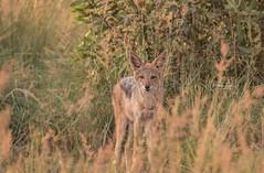 Black-backed jackal (Dawn Loehr Photography) Tags: dawnloehrphotography canon7dmarkii tamron150600 wildlife wildlifephotography nature naturephotography welgevondengamereserve southafrica africa jackal blackbackedjackal