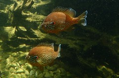 Lepomis gibbosus - Crapet-soleil ou Perche soleil ou Perche arc-en-ciel  (♂) - Pumpkinseed   or Pond perch or Common sunfish or Punkie or Sunfish or Sunny or Kivver - 25/06/19 (Philippe_Boissel) Tags: lepomisgibbosus crapetsoleil perchesoleil pumpkinseed pondperch commonsunfish punkie sunfish sunny kivver lepomis centrarchidae percoidei perciformes acanthopterygii teleostei neopterygii actinopterygii osteichthyes chordata fish poisson eaudouce 50055 perchearcenciel ♂