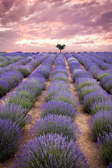 Lavender Field (Bulda9) Tags: rural scene field countryside farm cultivated land farmland farmhouse agriculture valender valensole provence france aromatherapy cosmetic flower french harvest herbal landscape lavande lavender levander plant plateau summer sunset tree bloom blossom flowers sunny purple outdoors cropland growth crop nature daylight weather travel pasture soil scenic sky