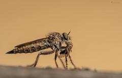 Raubfliege mit Beute (normen.nikon) Tags: insekt d500 sigma 105 nikon raubfliege tiere natur
