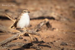Flycatcher Marico (michael heyns) Tags: bird maricoflycatcher albertenmarietjiefroneman kgalagadi 2019 chatsandoldworldflycatchers bradornismariquensis muscicapidae