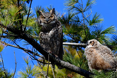GHOadultAndOwlet2small (Rich Mayer Photography) Tags: great horned horn owl owlet owls animal animals nature tree wild life wildlife avian perch fly flying flight nikon