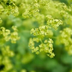 Green and Gold. (margaretgeatches) Tags: alchemillamollis bokeh tinyflowers gold green gardenflower plant