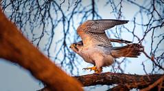 Falcon Lanner (michael heyns) Tags: bird albertenmarietjiefroneman caracarasandfalcons kgalagadi 2019 lannerfalcon falcobiarmicus falconidae