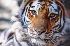 (marussia1205) Tags: амурский тигр взгляд хищник amur tiger look predator