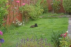 Chief gardener (Caulker) Tags: garden vaska cat lawn flowers green grass