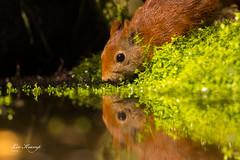 Squirrel | Eekhoorn (Leo Kramp) Tags: web wwwleokrampfotografienl eekhoorn data hbn5 photography natuurfotografie leokrampfotografie vogelhut dieren 2019 2010s zoogdieren animals mammals naturephotography sciurusvulgaris squirrel