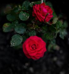 Увядание красной розы на черном фоне (Nanaccept) Tags: роза земля фотография увядание nanaccept creativemarket photos nature photography popular черный фон цветок красный