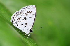 Common Hedge Blue - 1 (Gomen S) Tags: animal wildlife nature butterfly insect macro 105mmmicro d500 nikon asia tropical 2019 morning mountain forest hongkong hk china