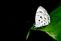 Common Hedge Blue - 2 (Gomen S) Tags: animal wildlife nature butterfly insect macro 105mmmicro d500 nikon asia tropical 2019 morning mountain forest hongkong hk china