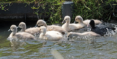 swan Waterland 094A0553 (j.a.kok) Tags: animal watervogel waterbird waterland zwaan swan knobbelzwaan