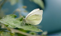 Butterfly........ (law_keven) Tags: butterfly butterflies insects macro macrophotography photography london catford england