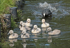 swan Waterland 094A0634 (j.a.kok) Tags: animal watervogel waterbird waterland zwaan swan knobbelzwaan