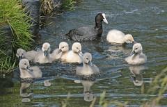 swan Waterland 094A0642 (j.a.kok) Tags: animal watervogel waterbird waterland zwaan swan knobbelzwaan