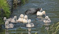 swan Waterland 094A0643 (j.a.kok) Tags: animal watervogel waterbird waterland zwaan swan knobbelzwaan