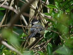 Great Tit Here (river crane sanctuary) Tags: greattit rivercranesanctuary nature bird