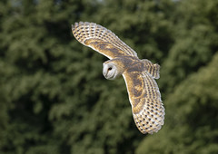 Barn owl (Harleycy3) Tags: barnowl swooping gliding feathers bird owls