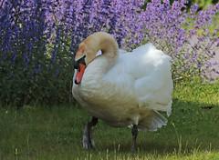 swan Waterland 094A0810 (j.a.kok) Tags: animal watervogel waterbird waterland zwaan swan knobbelzwaan