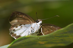 Dark-edged Snow Flat - Jul 2019 (Gomen S) Tags: animal wildlife nature butterfly insect macro 105mmmicro d500 nikon asia tropical 2019 morning mountain forest hongkong hk china