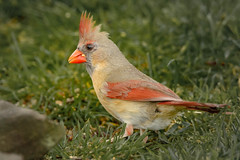 Male Northern Cardinal (lablue100) Tags: birds bird cardinal male malenortherncardinal northerncardinal hungry eating food seed grass nature action animals colors