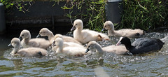 swan Waterland 094A0555 (j.a.kok) Tags: animal watervogel waterbird waterland zwaan swan knobbelzwaan