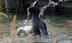swan Waterland 094A0586 (j.a.kok) Tags: animal watervogel waterbird waterland zwaan swan knobbelzwaan