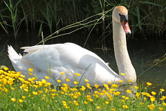 swan Waterland 094A0693 (j.a.kok) Tags: animal watervogel waterbird waterland zwaan swan knobbelzwaan
