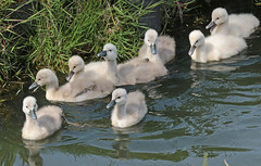 swan Waterland 094A0670 (j.a.kok) Tags: animal watervogel waterbird waterland zwaan swan knobbelzwaan