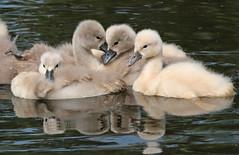 swan Waterland 094A0632 (j.a.kok) Tags: animal watervogel waterbird waterland zwaan swan knobbelzwaan