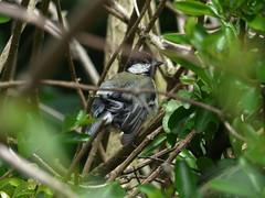 Great Tit in Cover (river crane sanctuary) Tags: greattit rivercranesanctuary bird wildlife nature