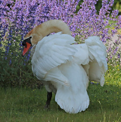 swan Waterland 094A0817 (j.a.kok) Tags: animal watervogel waterbird waterland zwaan swan knobbelzwaan