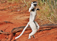 Leaping Lemur - Verreaux's Sifaka Hopping (Propithecus verreauxi) (Susan Roehl) Tags: madagascar2017 largeislandoffthecoastofafrica lemur verreauxssifaka propithicusverrauxi endemictoisland modeoflocomotion hoppingsidewayswitharmsup patternoflocomotion 101speciesandsubspecies mediumsized indriidaefamily varietyofhabitats rainforest deciduousdryforests thicksilkyfur longtail arborealexistence smalltroops foursubspecies generally18yearsold sueroehl photographictours naturalexposures panasonic lumixdmcgh4 100400mmlens animal mammal herbivore conspiracy ngc coth5