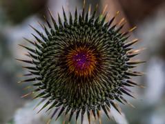 Geometric (alexJladd) Tags: geometric symetric flower close up macro