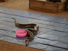 Python huckster at the Lao market 1 (SierraSunrise) Tags: animals esarn festivals isaan market nongkhai phonphisai python reptiles snakes thailand งูเหลือม
