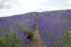 Cotswold lavender fields (osophie20) Tags: lavender flower cotswolds broadway snowshill