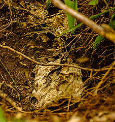 Badger Dug Wasp's Nest (ianbartlett) Tags: outdoor 365 wildlife nature insects nests flowers flies seeds trees