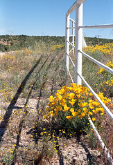 Las Flores (squirtiesdad) Tags: poppies lasflores fence roadside summitvalley shadows pentax spotmatic sp1000 epson v600 analog analogue ektar iso100 color negative 35mm film c41 takumar 55mm f18