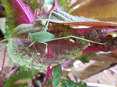 Tettigoniidae-Katydid-ตั๊กแตนอเมริกันขนาดใหญ่ (SierraSunrise) Tags: animals esarn green insects isaan katydids nongkhai nymph orthoptera phonphisai thailand