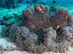 Ocellaris clownfish (Amphiprion ocellaris) and Threespot dascyllus (Dascyllus trimaculatus)